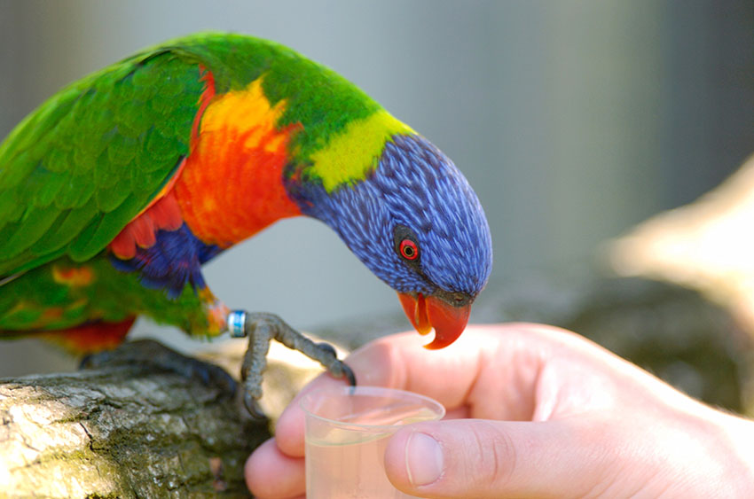 Rainbow lorikeet feeding from hand
