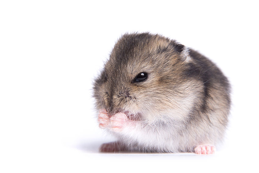 Hamster Common Illnesses | Hamster Illnesses | Hamsters