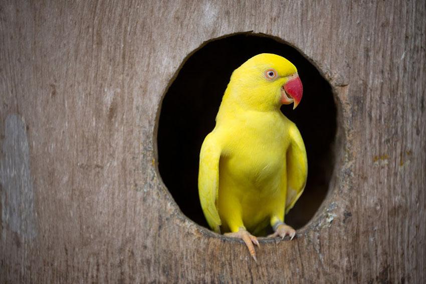 Yellow variety Ring-necked parakeet nesting