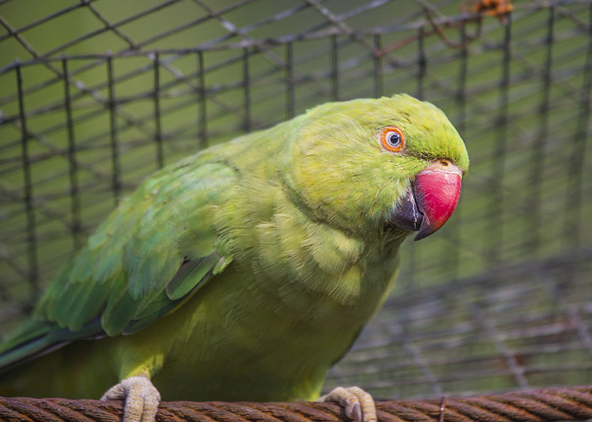 Ring-necked Parakeet noise