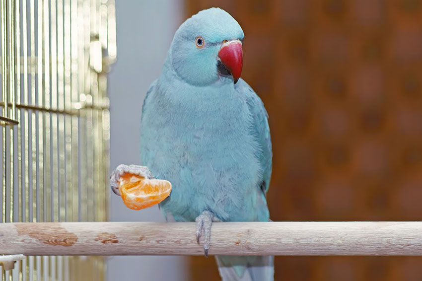 Ringnecked Parakeet blue type