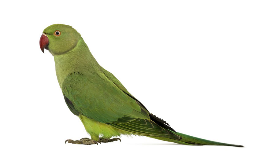 Rose-ringed or Ring-necked parakeet