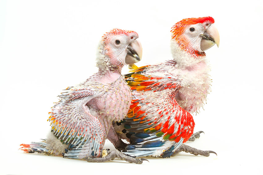 Scarlet Macaw chicks