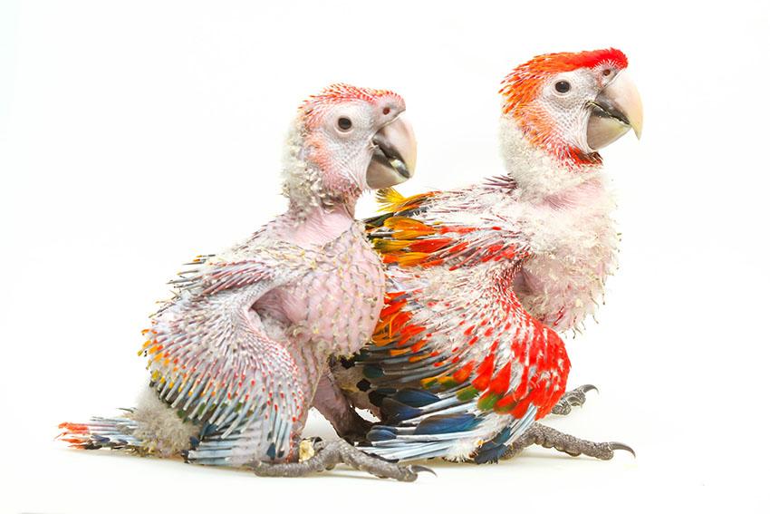 Scarlet Macaw chicks