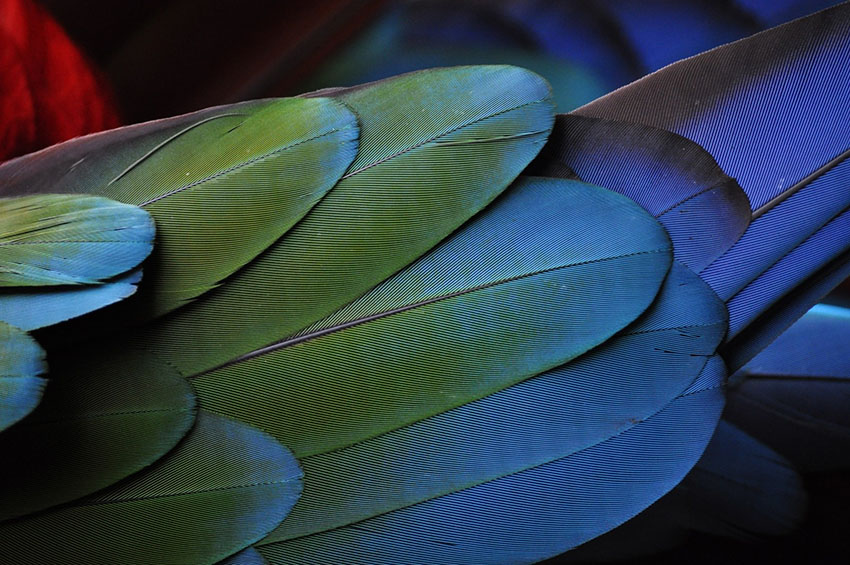 Parrot Feather Problems | Parrots and Disease | Parrots | Guide