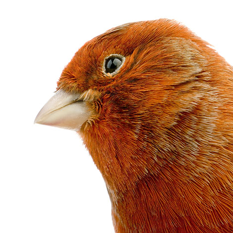 Red-factor Canary closeup