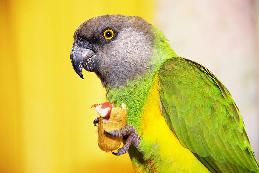 Senegal parrot eating