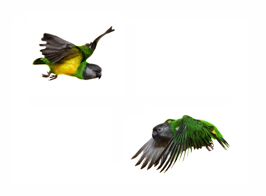 Senegal parrot flying