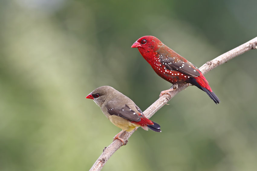 Diamond Firetail and Scarlet Finch