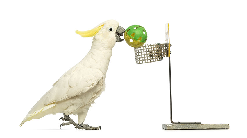Sulphur-crested Cockatoo playing