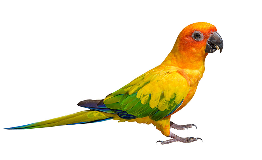 Sun Conures need space if they are to mix successfully