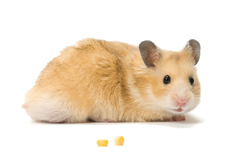 What Types of Hamster Are The Friendliest? | Getting A