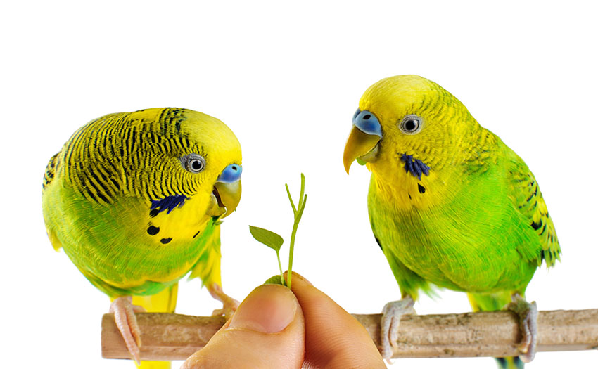 Taming Budgie Tips | Taming A Budgie | Budgie Guide | Guide