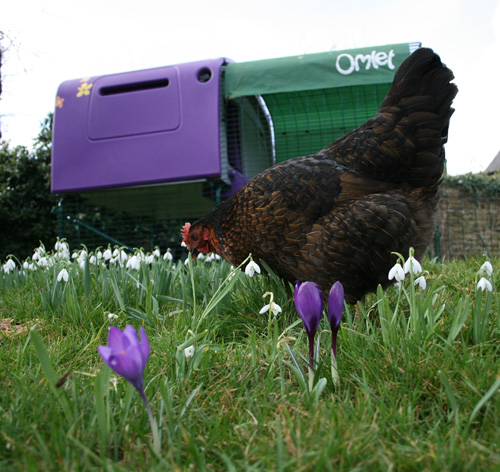 Stephanie Croft's hens enjoying their Eglu Cube and Run in the flowery spring garden
