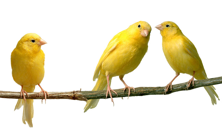 Reasons for a Canary not singing