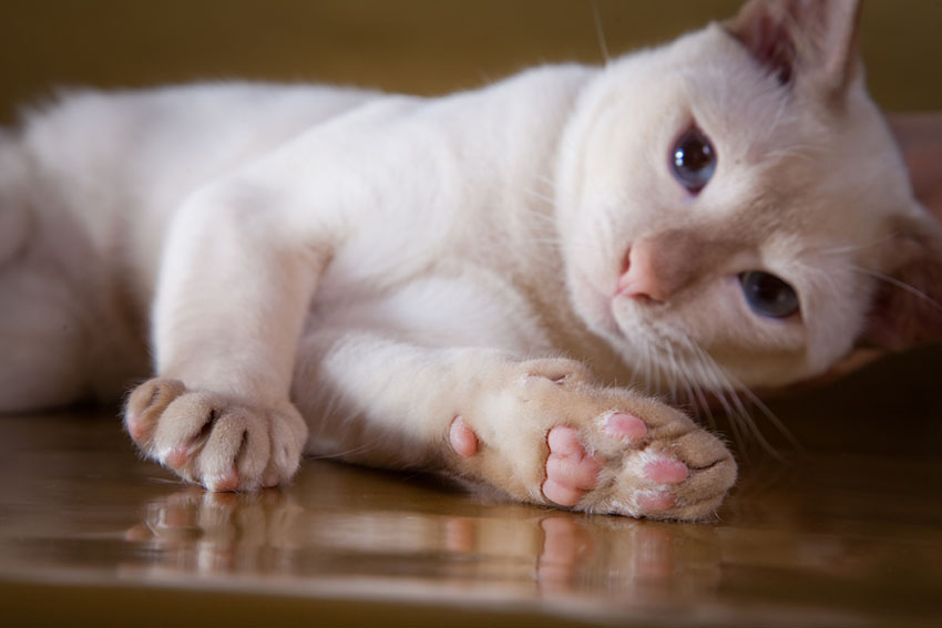 A cute Tonkinese cat lying down inside