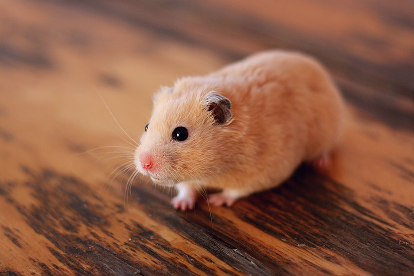 treatments for hamsters