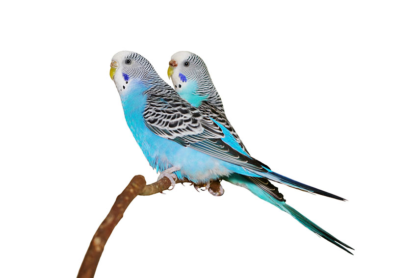 Two blue budgies on a stick perch