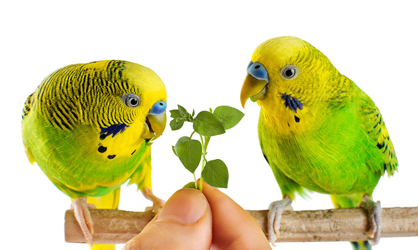 Two budgies eating greens