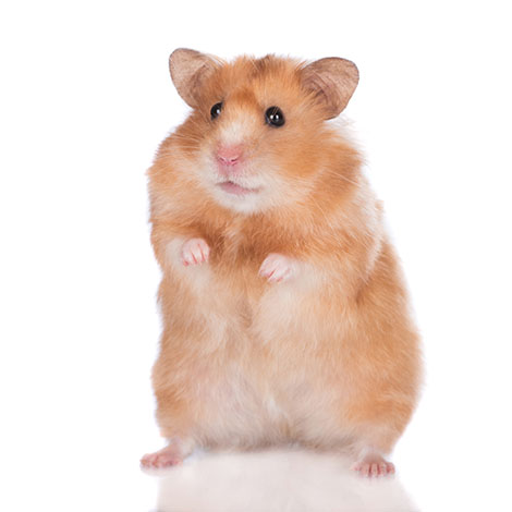 Hamster Keeps Falling Over | Owners' Questions | Hamsters