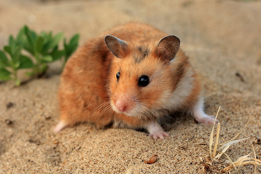 watch how hamsters walk