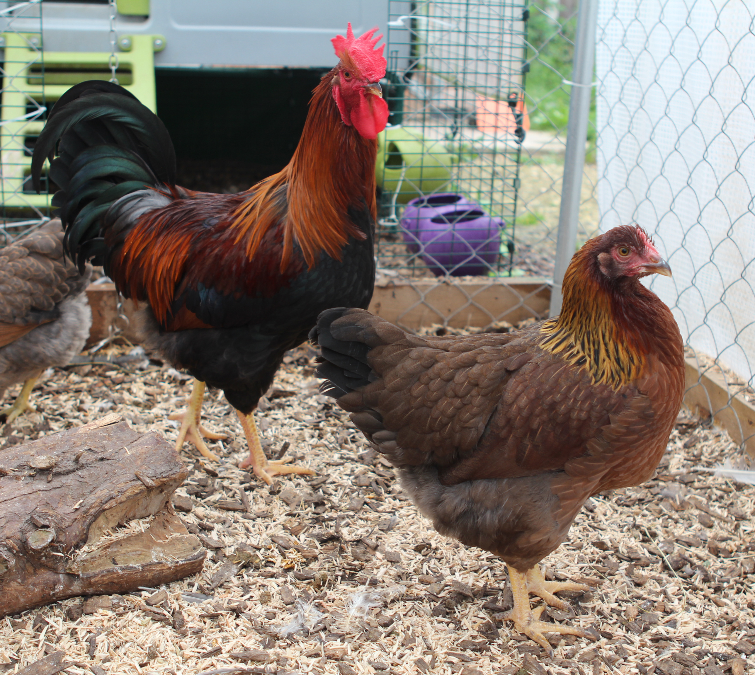Samantha Dawson's lovely Welsummer hens are being looked after by her cockerel