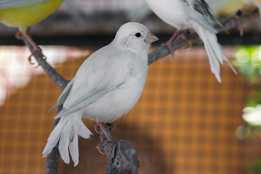 White Canaries