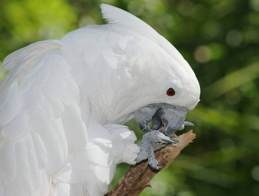 White cockatoo feeding
