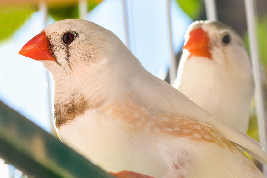 White Penguin Zebra finch