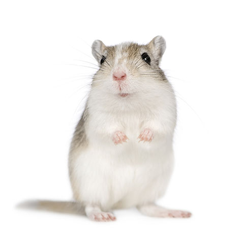 why gerbils fight