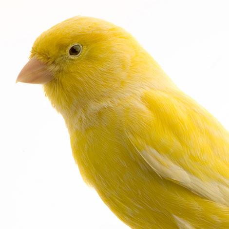 Yellow canary head