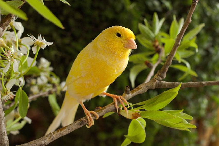 Yellow Canary on lilac bush