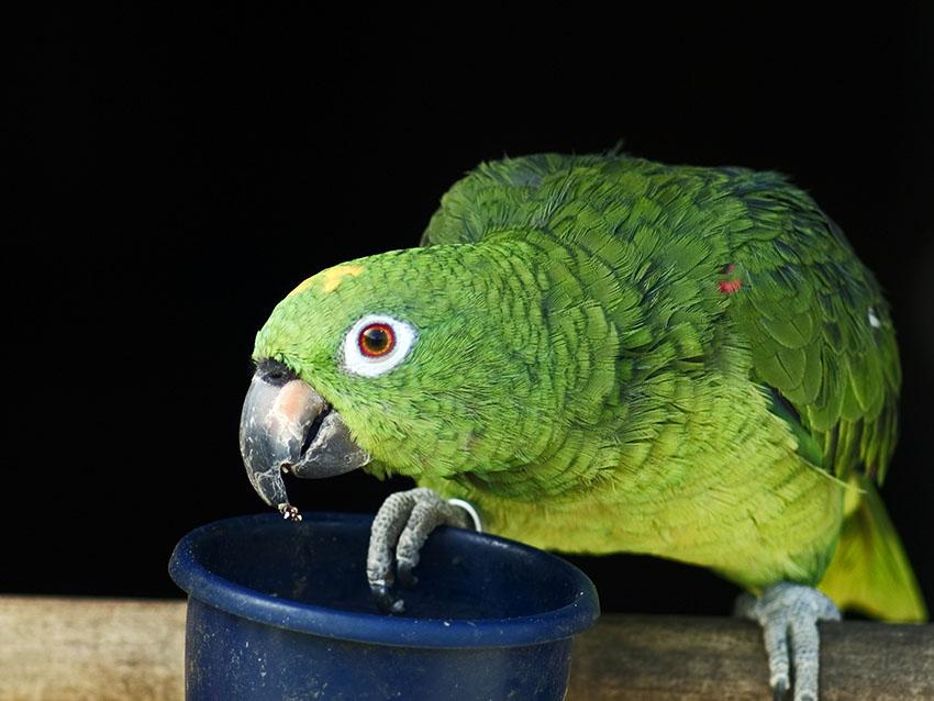 Yellow-crowned Amazon feeding