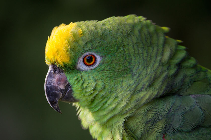 Parrot Diseases | Parrots and Disease | Parrots | Guide