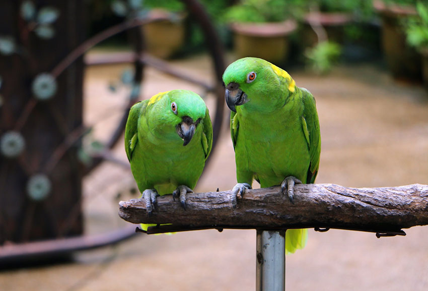 Yellow-naped Amazon pair