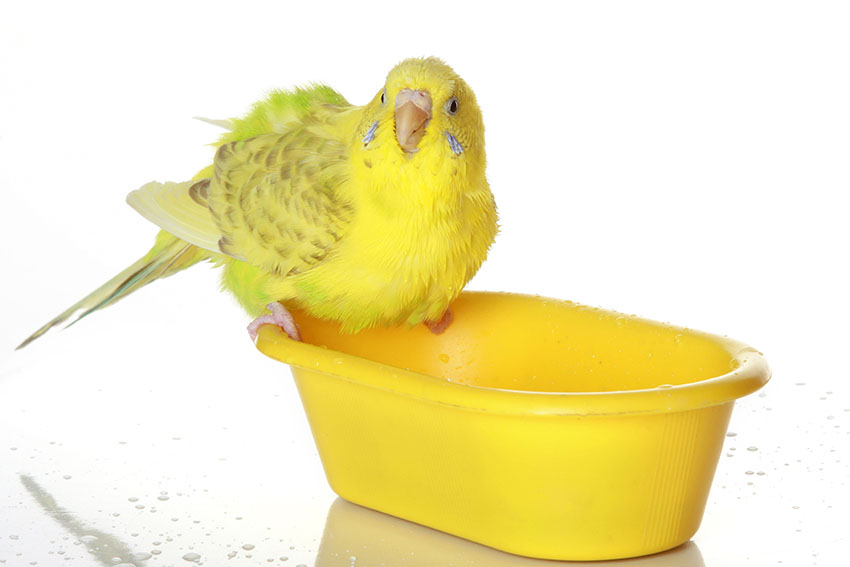 Yellow budgie takes a bath
