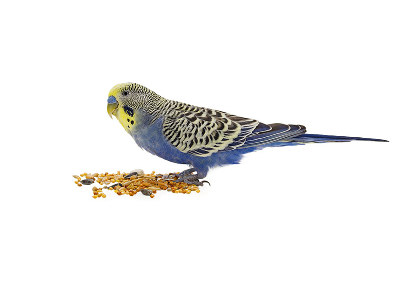 yellow-headed budgie feeding on ground