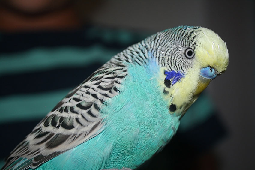 yellowface blue budgie