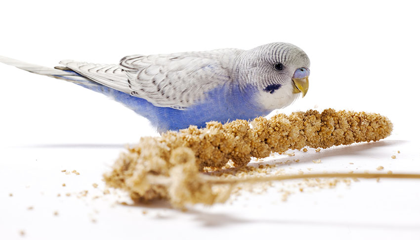 young blue budgie eating millet