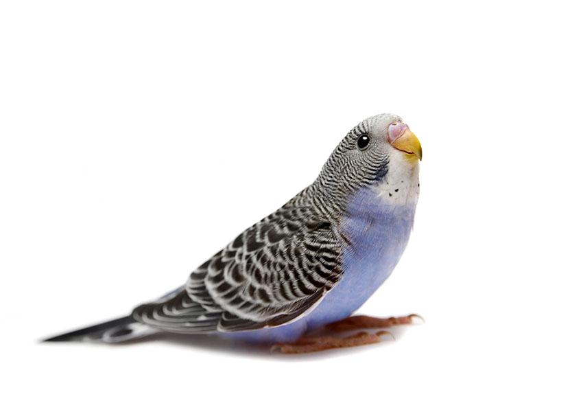 young blue female budgie