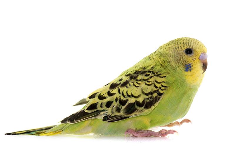 Taming a young parakeet