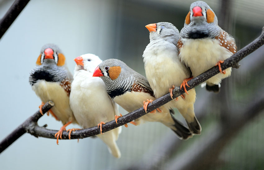 Flock of Zebra finches