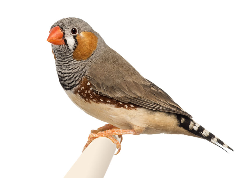 zebra Finch perching